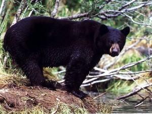 guided black bear hunts